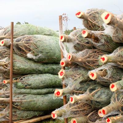 Gunnars Granar, Degeberga. Märkta granar i väntan på leverans. Foto Björn Solfors